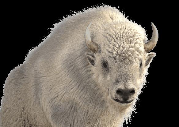 Great White Buffalo - left image
